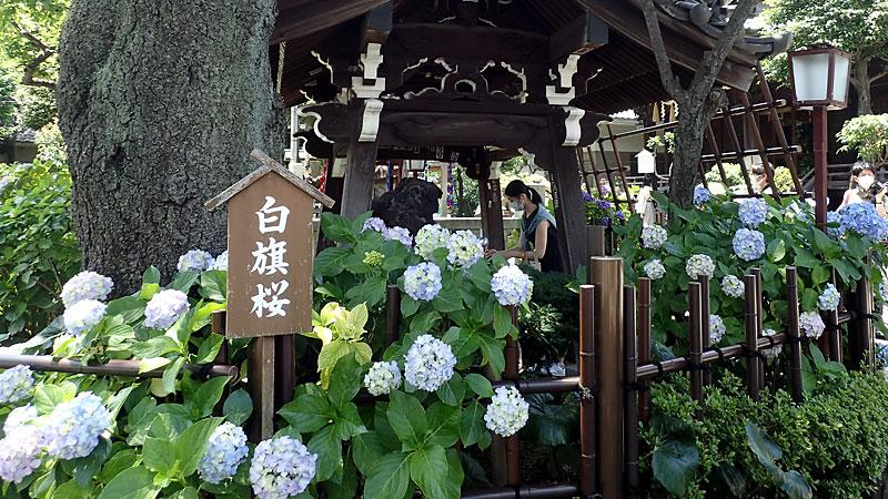 白山神社白旗桜とあじさい