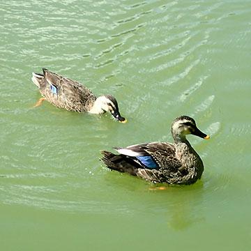 見次公園の鴨