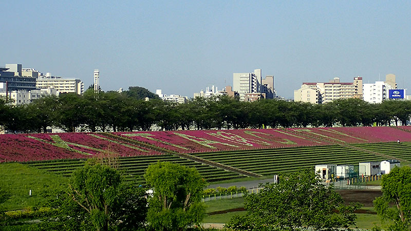 橋から赤羽芝桜