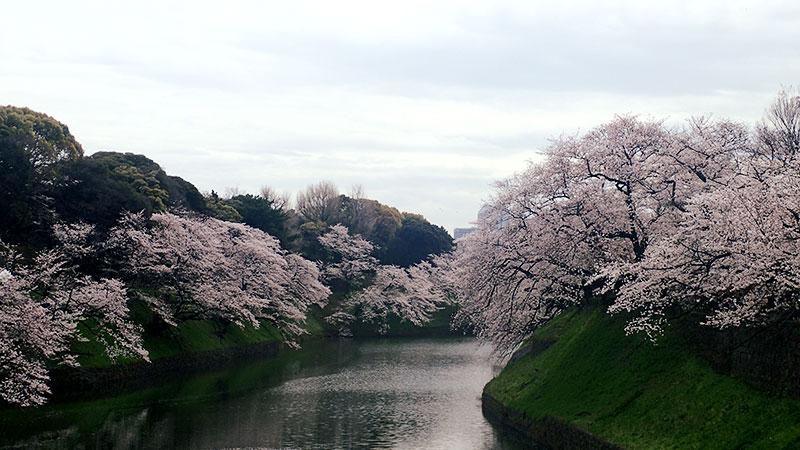 北の丸公園(千鳥ヶ淵)の桜アップ