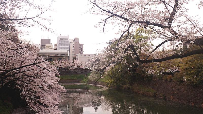 北の丸公園(千鳥ヶ淵)の桜